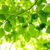 Почему зеленые листья трудно оторвать от стебля