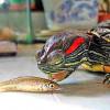 Красноухоя черепаха: чем кормить питомца