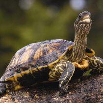 Чем кормить сухопутную черепаху живущую дома