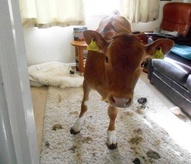 розыгрыш корова дома