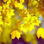 почему листья осенью желтеют и опадают