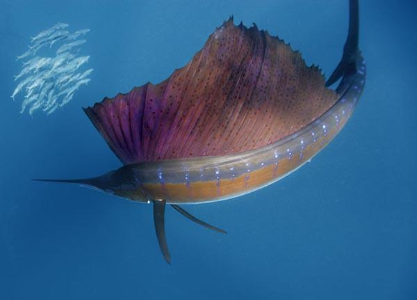 самая быстрая рыба в мире