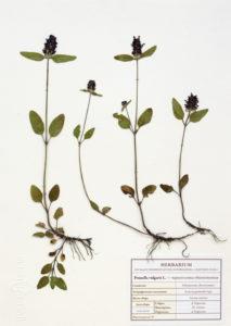 гербарий из растений оформление