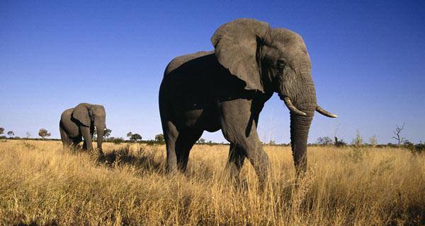 10 самых больших животных на земле - африканский слон