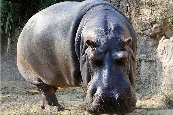 10 самых больших животных - бегемот
