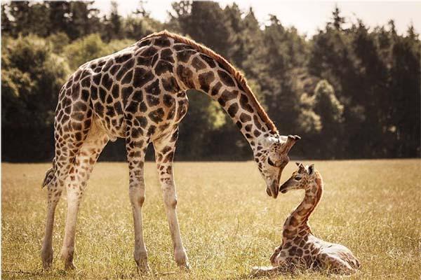 10 самых больших животных - жираф