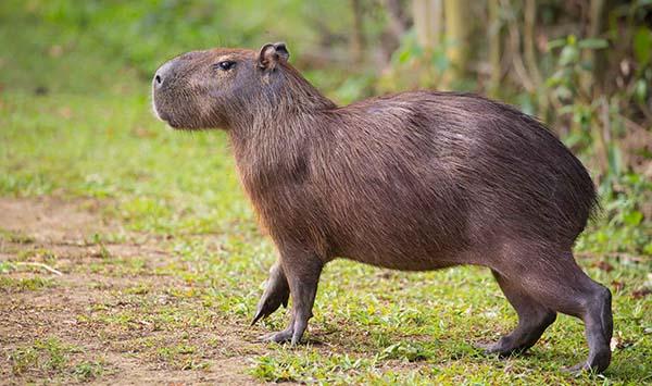 10 самых больших животных - капибара