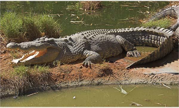 10 самых больших животных - гребнистый крокодил