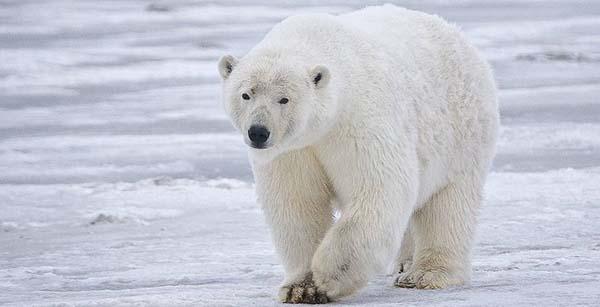 10 самых больших животных - белый медведь