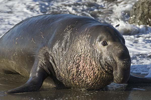 10 самых больших животных - морской слон