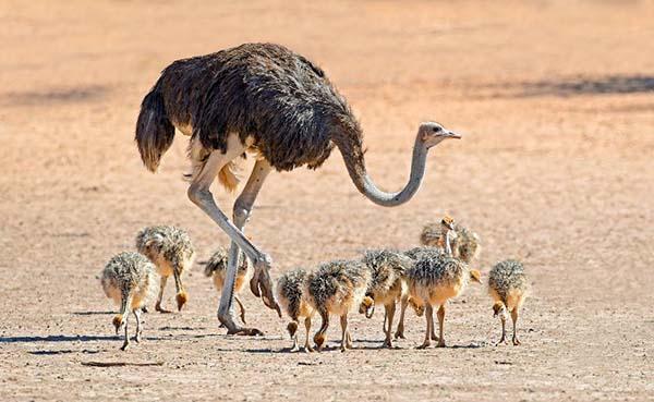 10 самых больших животных на земле - страус